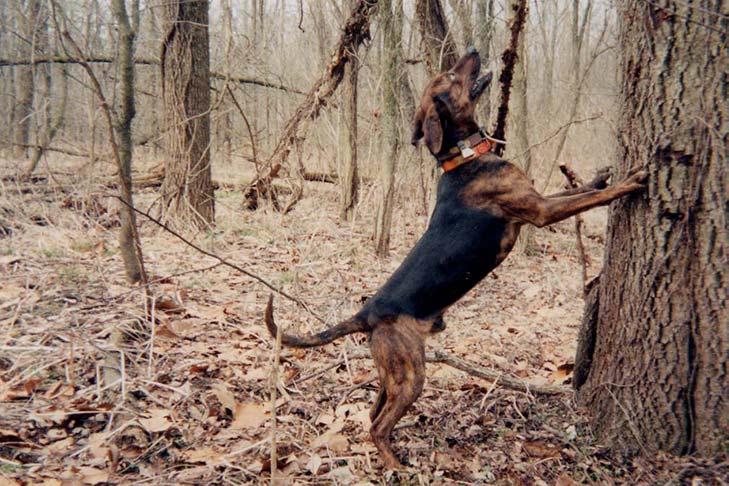 Treeing Tennessee Brindle