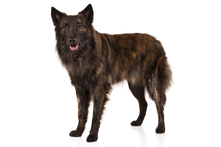 Dutch Shepherd standing in three-quarter view facing forward