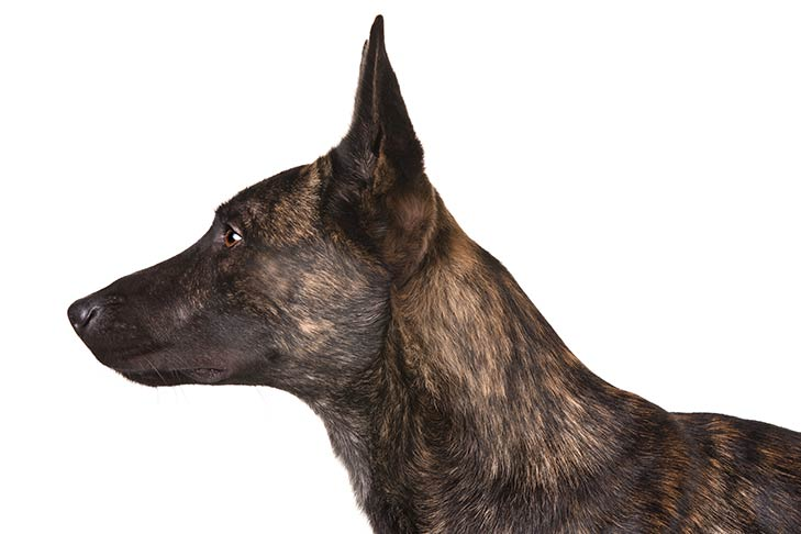 Dutch Shepherd head facing left