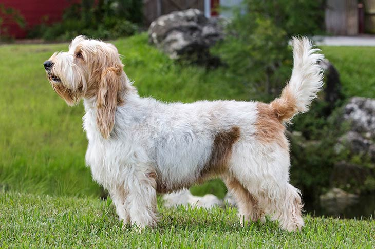 Grand Basset Griffon Vendéen standing sideways in grass facing left