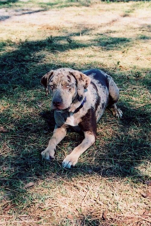 Catahoula Leopard Dog lying in grass under tree-filtered sunlight