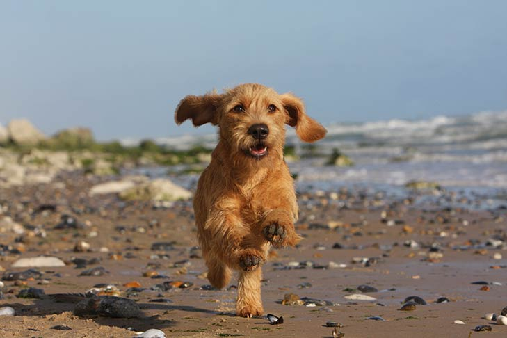 Basset Fauve de Bretagne running on a beach facing forward