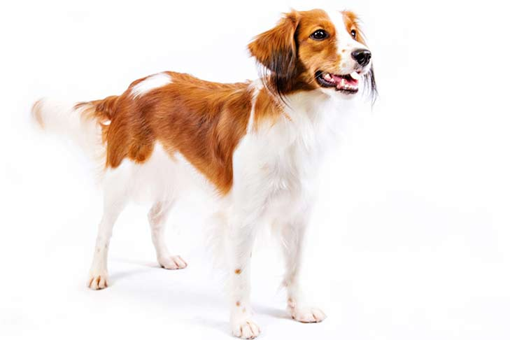 Nederlandse Kooikerhondje Puppy