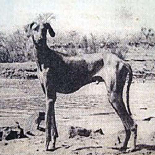 Azawakh History