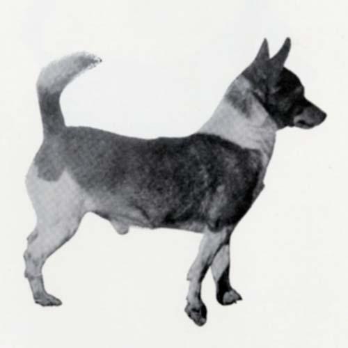 Portuguese Podengo Pequeno Dog Breed Information