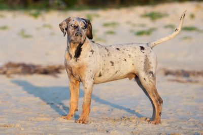 Catahoula Leopard Dog Kennel