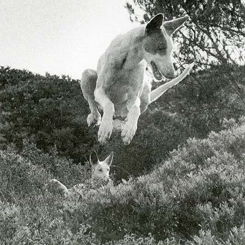 Ibizan Hound