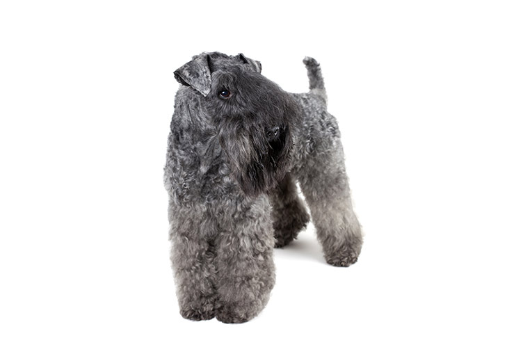 Kerry Blue Terrier standing in three-quarter view, head turned right