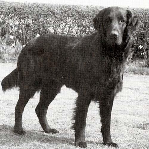 Flat-Coated Retriever Dog Breed Information