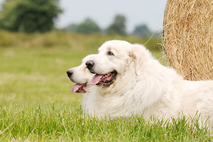 Two Great Pyrenees dogs lying in grass, one in front of the other