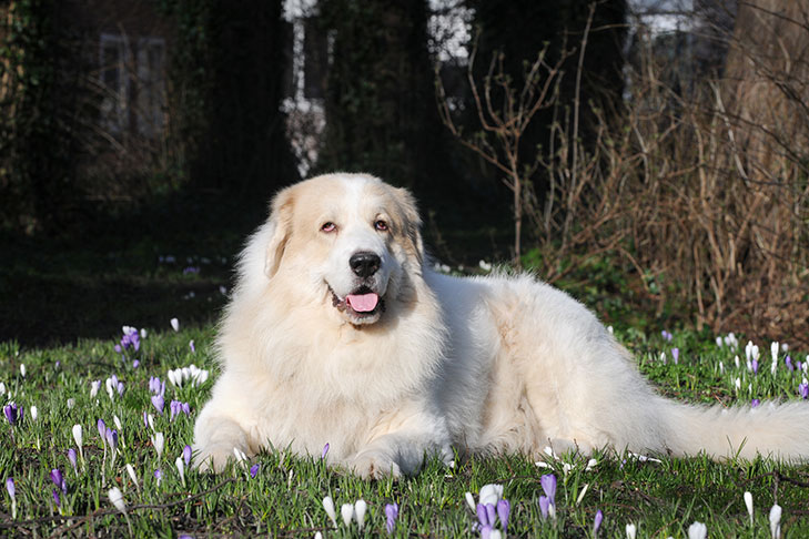 Great Pyrenees lying on a ground covered in short purple wildflowers