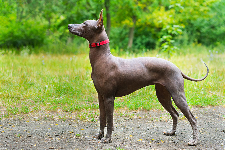 Xoloitzcuintli standing sideways facing left outdoors on a dirt path with green grass and trees in the background