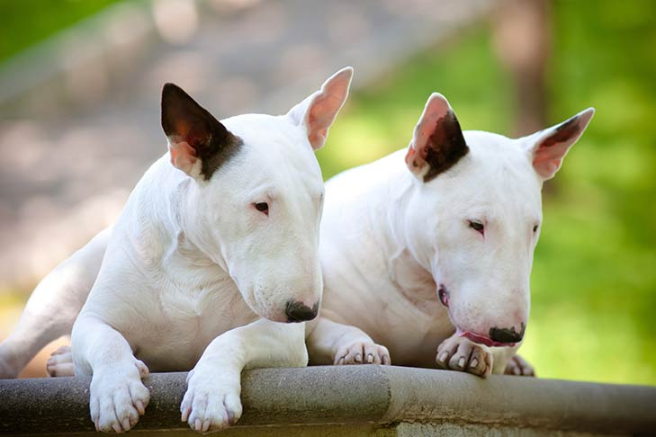 Two Miniature Bull Terriers lying outdoors side by side facing forward, heads looking down