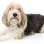 Petit Basset Griffon Vendéen lying in three-quarter view facing forward