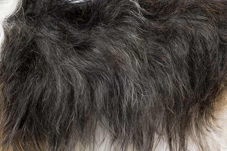 Petit Basset Griffon Vendéen coat detail