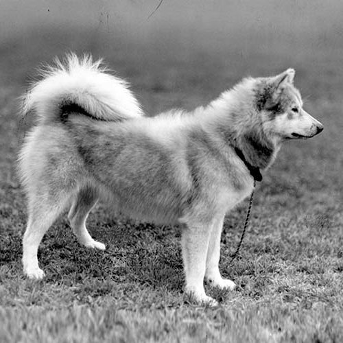 American Eskimo Dog Dog Breed Information If you have any images of malamutes you'd like to share with this group, please shout some links. american eskimo dog dog breed information