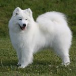 Samoyed standing sideways in grass facing left, head turned forward