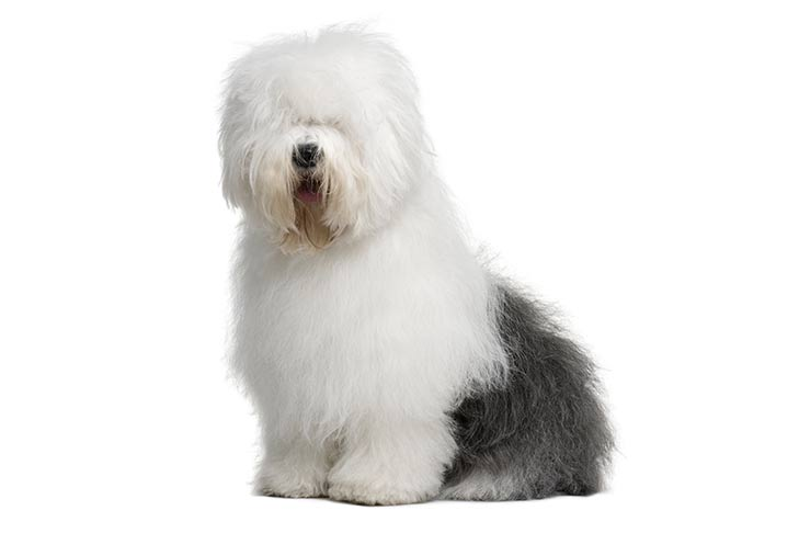 Old English Sheepdog sitting in three-quarter view facing forward