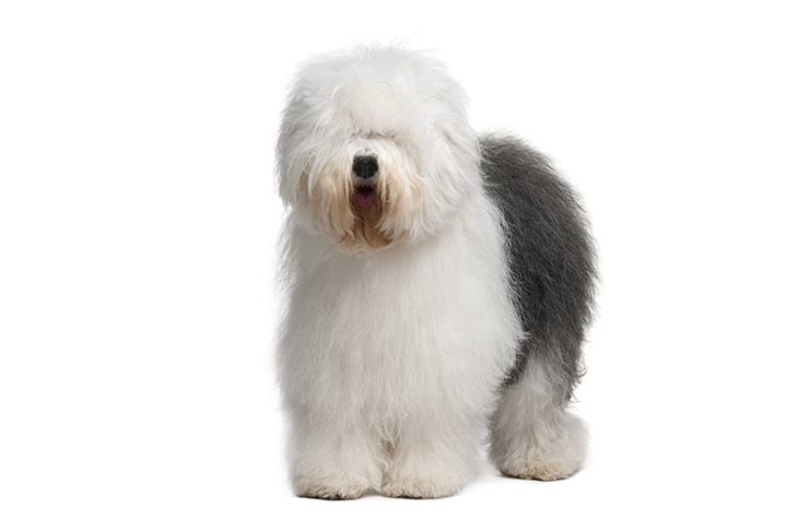 Old English Sheepdog standing in three-quarter view facing forward