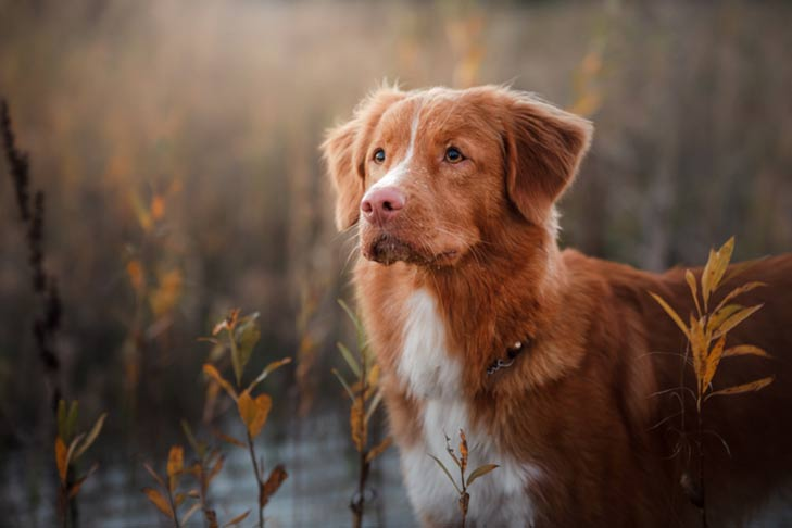 Nova Scotia Duck Tolling Retriever head and neck in three-quarter view amongst tall grasses