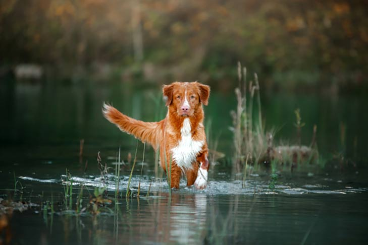 Nova Scotia Duck Tolling Retriever walking forward through shallow water and reeds