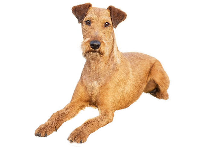 Irish Terrier lying in three-quarter view
