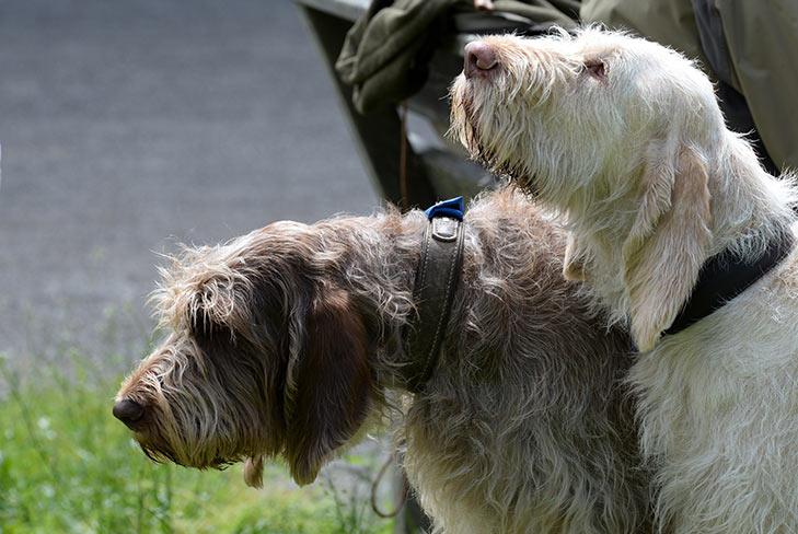 Two Spinone Italiano dogs heads and shoulders side by side outdoors in sunlight