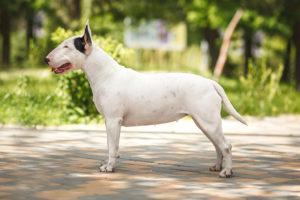 Bull Terrier standing sideways outdoors facing left.