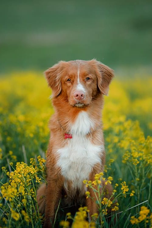 Nova Scotia Tolling Duck Retriever