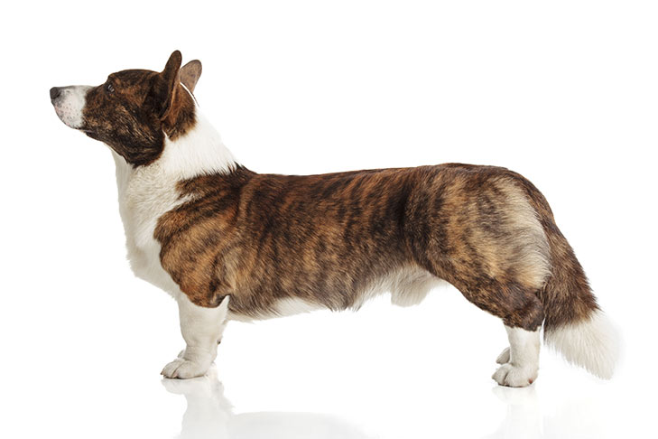 Cardigan Welsh Corgi standing facing left