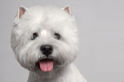 west highland white terrier pictures american kennel club