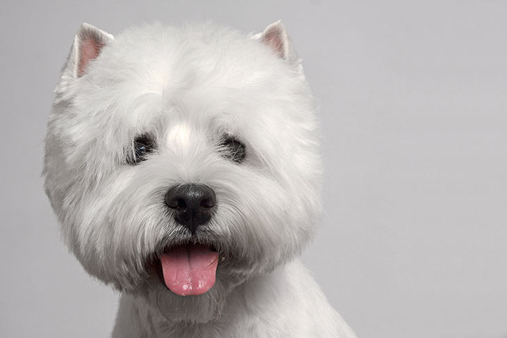 West Highland White Terrier head facing forward with tongue out