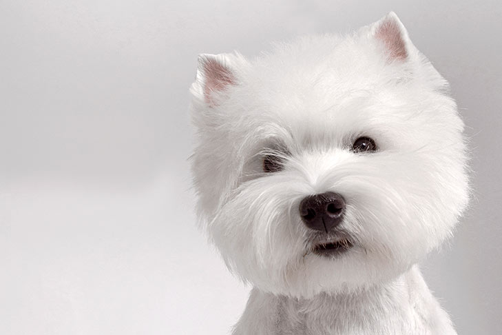 West Highland White Terrier head facing forward