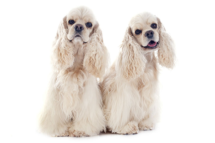Two Cocker Spaniels sitting side by side facing forward