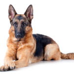 German Shepherd Dog lying in three-quarter view with front paws crossed.