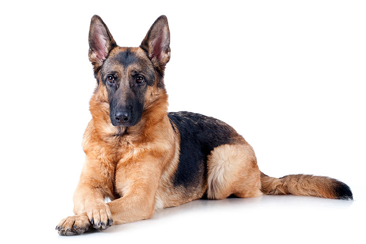 German Shepherd Dog lying in three-quarter view with front paws crossed