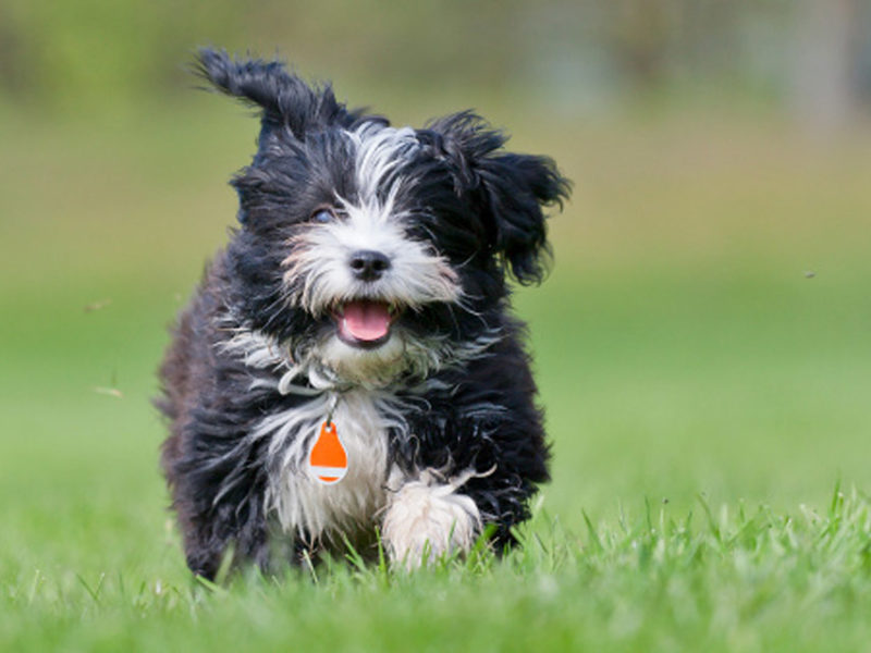 Havanese Dog Breed Information