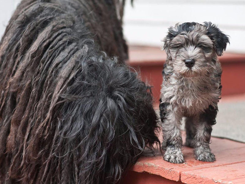 Bergamasco puppy