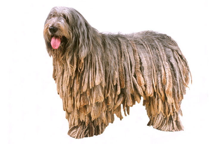 Bergamasco Sheepdog standing sideways facing forward