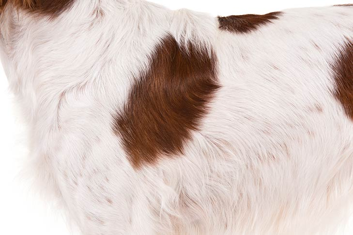 Irish Red and White Setter coat detail