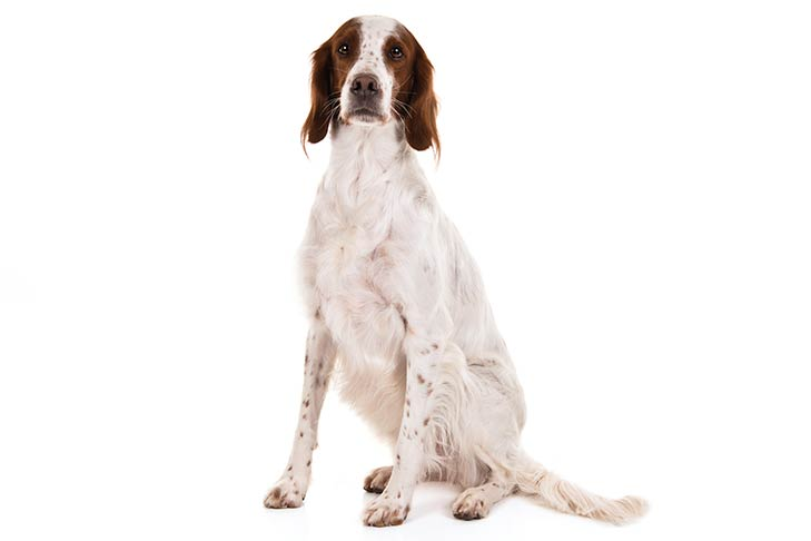 Irish Red and White Setter sitting in three-quarter view facing forward