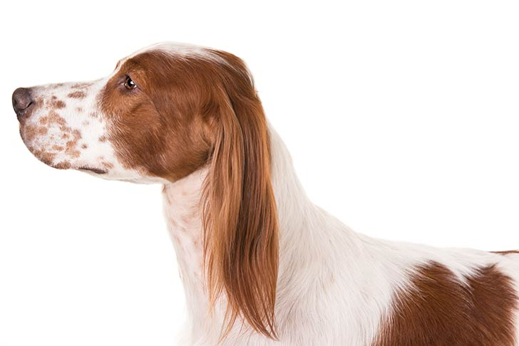 Irish Red and White Setter head facing left