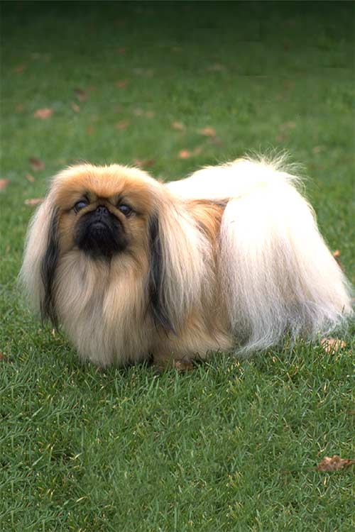 Pekingese Dog Breed Information