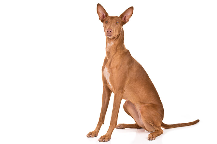 Pharaoh Hound sitting in three-quarter view facing forward