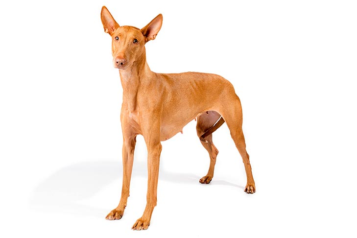 Pharaoh Hound standing in three-quarter view facing forward