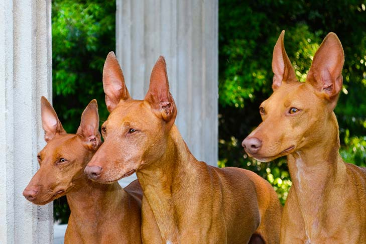 Three Cirneco dell'Etna dogs heads and shoulders in three-quarter view