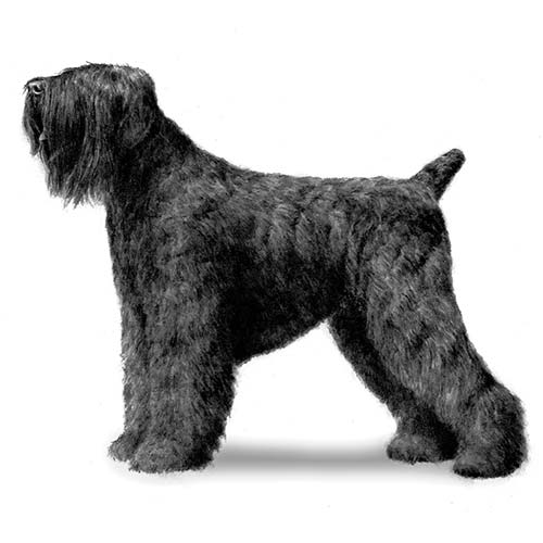 Black Russian Terrior Guard Dog