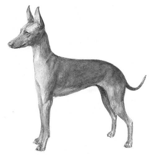 Coursing Dog Breeds
