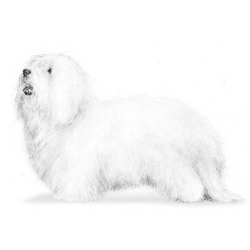 coton de tulear illustration