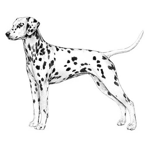 dalmatian illustration